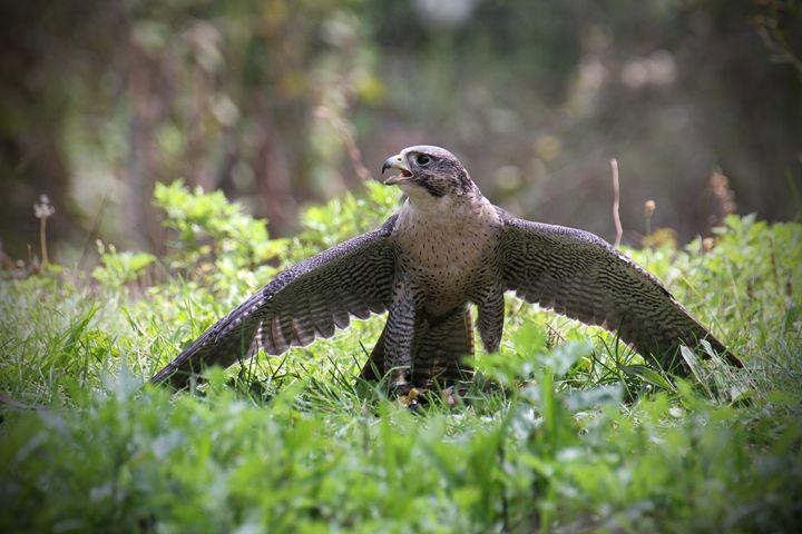 Falcon Wings - Heatherae Photography