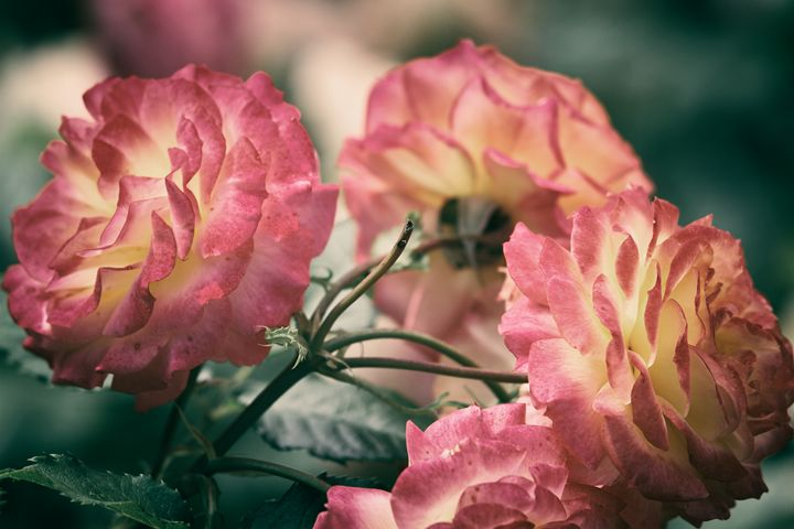 Pink Roses - Heatherae Photography