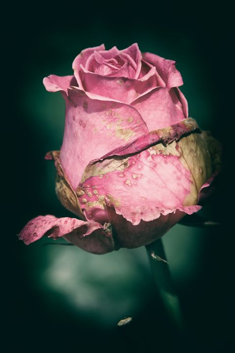 Rotting Rose - Heatherae Photography