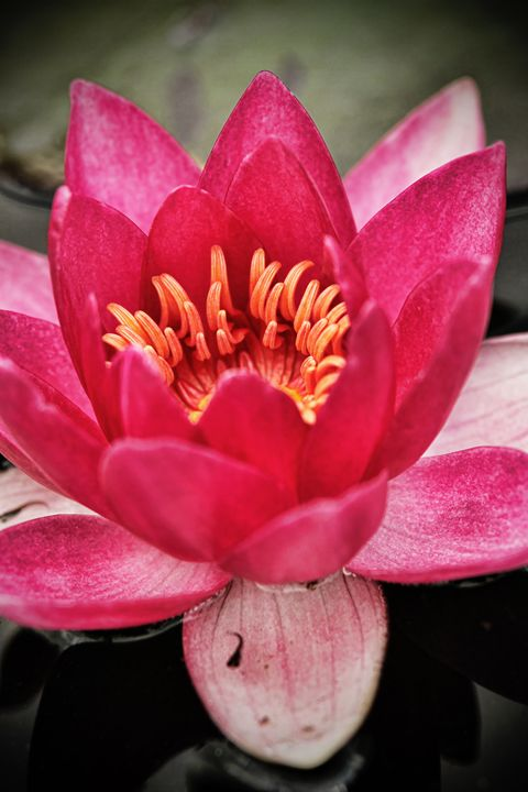 Water Lilly - Heatherae Photography