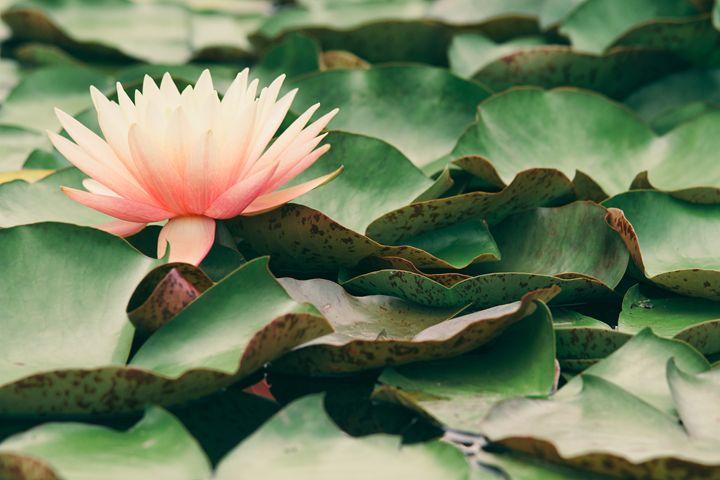 Water Lily II - Seeking Venture Gallery