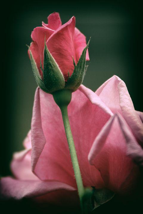 Blooming Rose II - Heatherae Photography