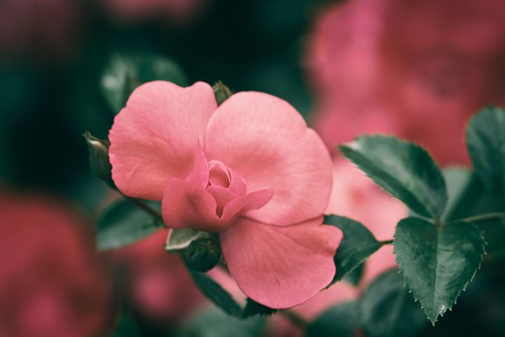 Mini Rose - Heatherae Photography