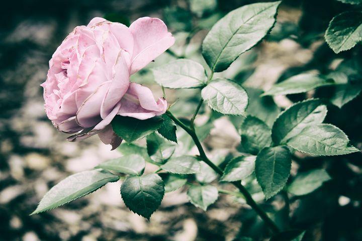 Pink Rose - Heatherae Photography