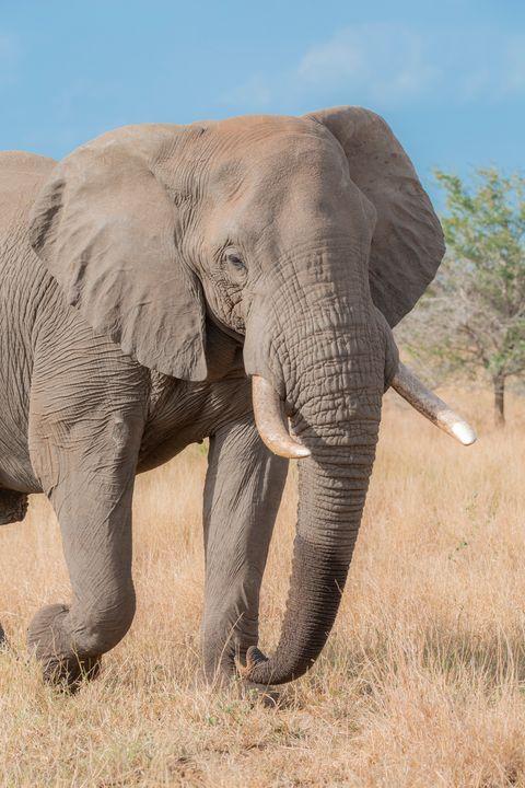 Kruger Elephant - Seeking Venture Gallery