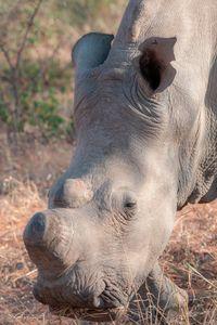 Rhino, Kruger