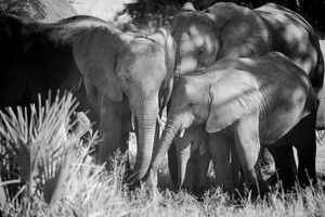 Elephant Family, Black & White