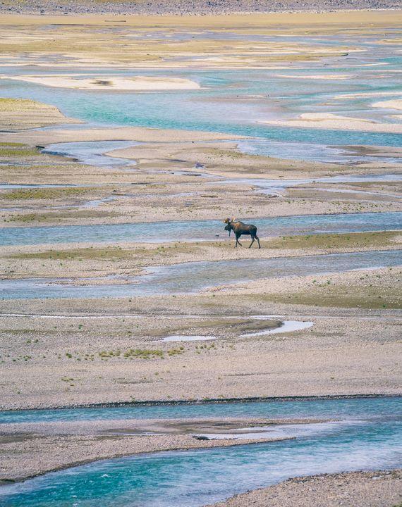 Moose Land - Heatherae Photography