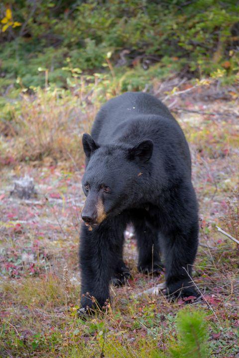 Black Bear - Heatherae Photography