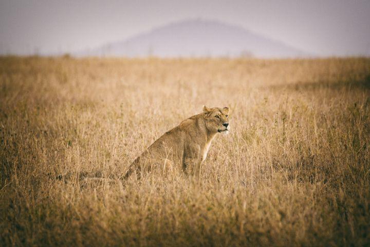 Lion - Heatherae Photography