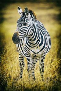 Zebra - Seeking Venture Gallery
