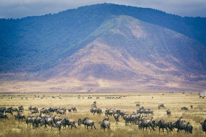 Wildebeests - Heatherae Photography