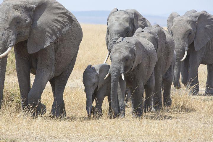 Walking Elephants II - Heatherae Photography