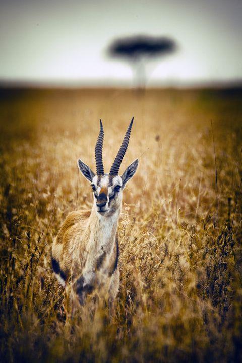 Thomson's Gazelle - Heatherae Photography