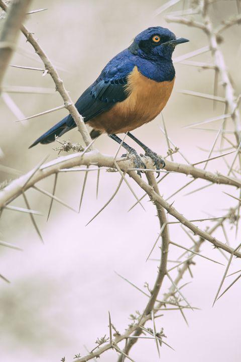 Hildebrandt's Starling - Heatherae Photography