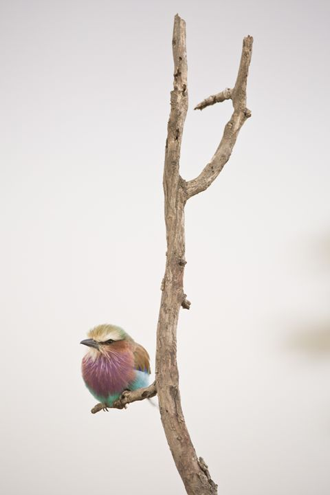 Lilac Breasted Roller - Heatherae Photography