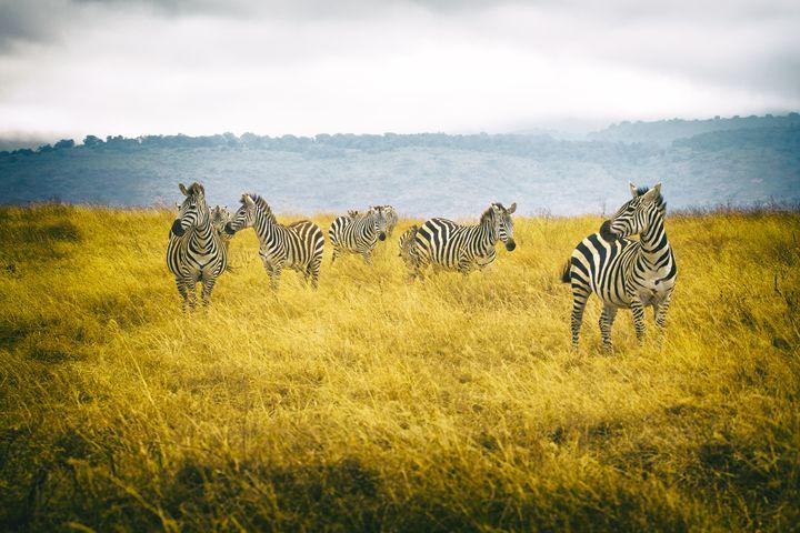 Zebra Group - Heatherae Photography