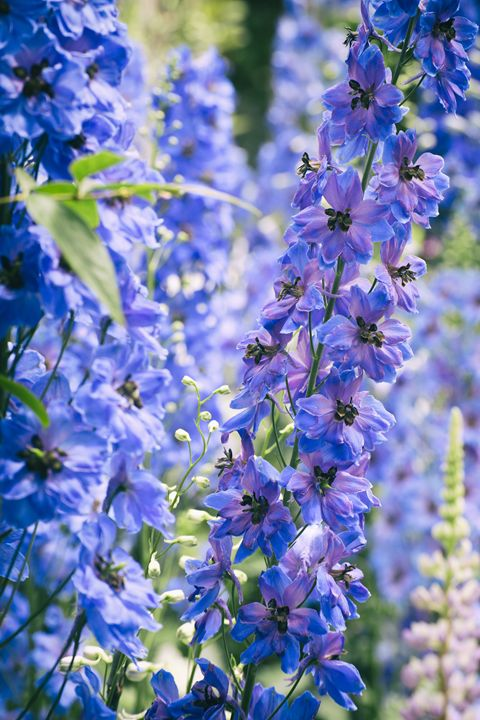 Purple/Blue Flowers - Heatherae Photography
