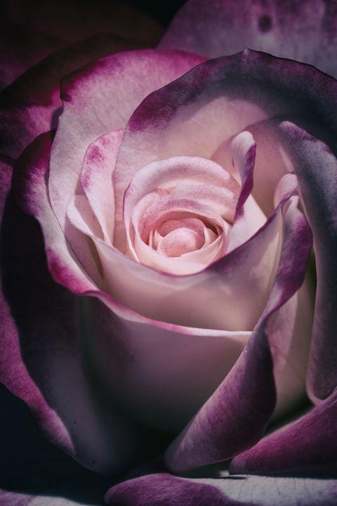 Rose - Heatherae Photography