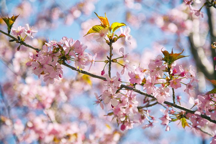 Cherry Blossom - Heatherae Photography