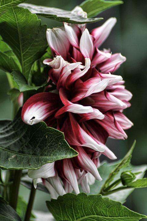 Red Blossom - Heatherae Photography