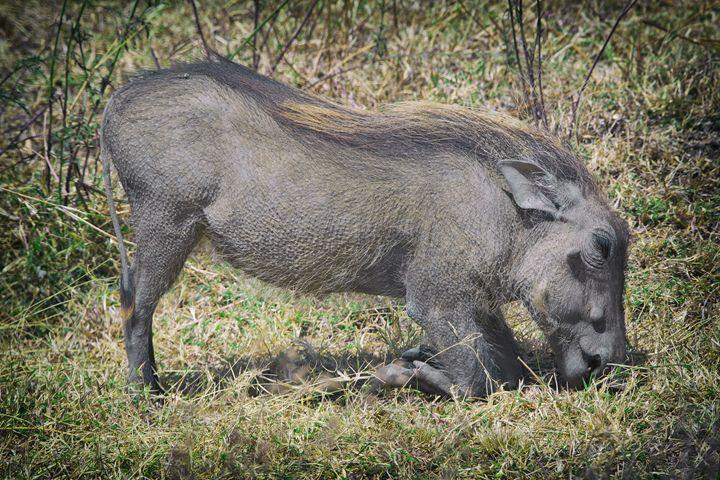 Kneeling Warthog - Heatherae Photography