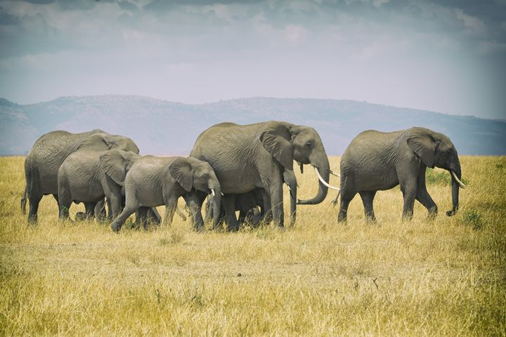 Elephants on the Move - Seeking Venture Gallery