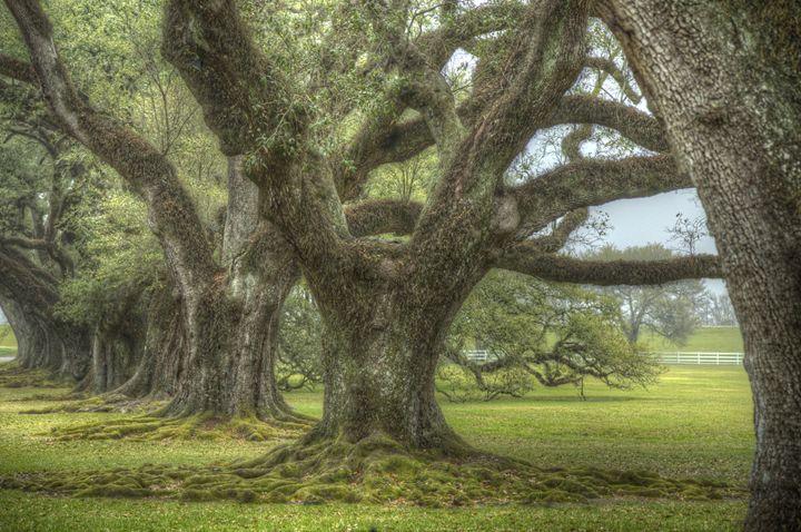 Oak Alley Trees - Heatherae Photography