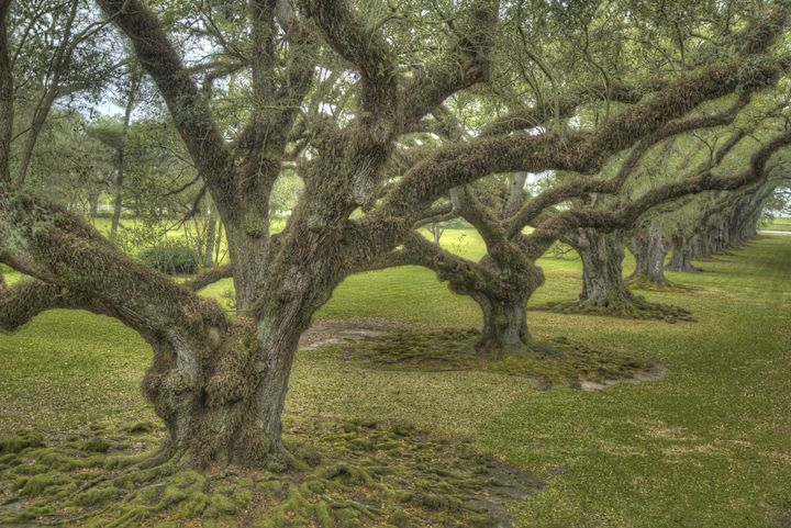 Oak Alley Trees III - Heatherae Photography