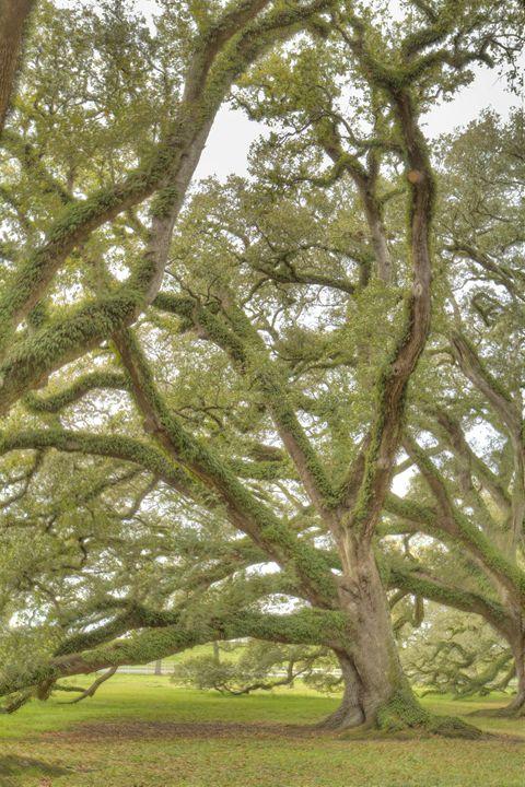 Oak Alley Trees II - Heatherae Photography