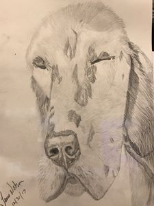 English setter in graphite