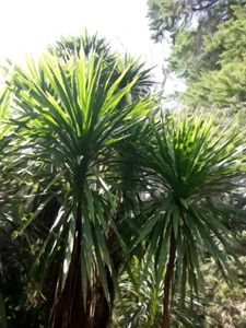 Cabbage Tree #3