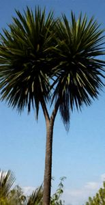 Cabbage Tree #2