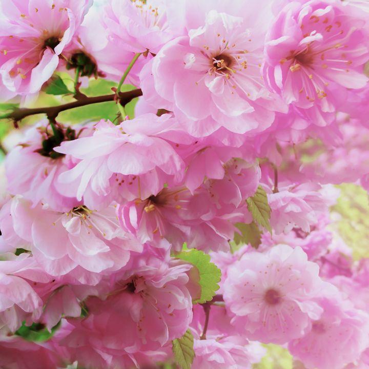 Blossoming Pink Wild Rose - Julia Gogol Art