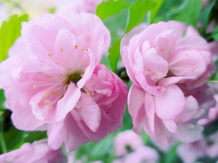 Pink Rosehip - Julia Gogol Art