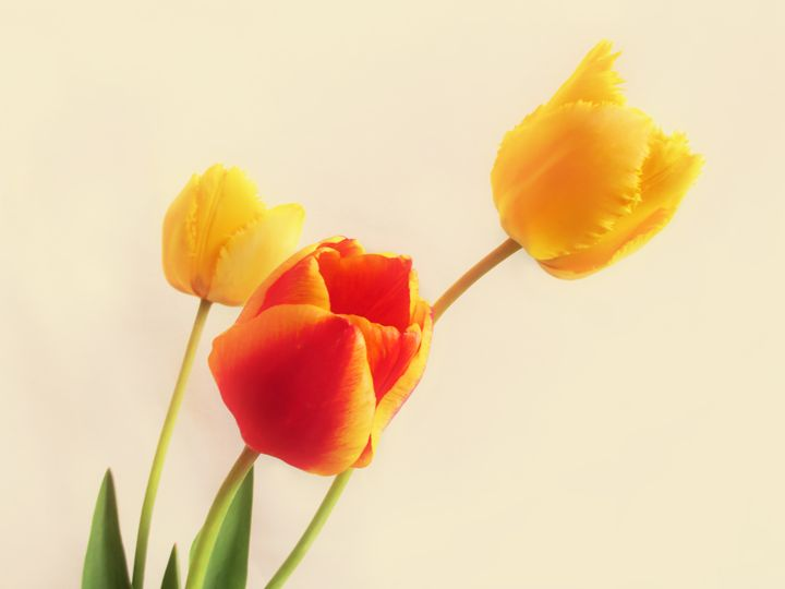 Yellow and red tulips - Julia Gogol Art
