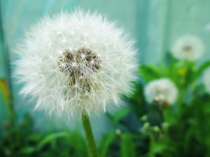 Fluffy dandelions - Julia Gogol Art