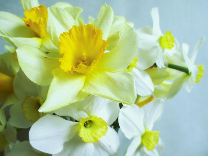 Daffodils - Julia Gogol Art