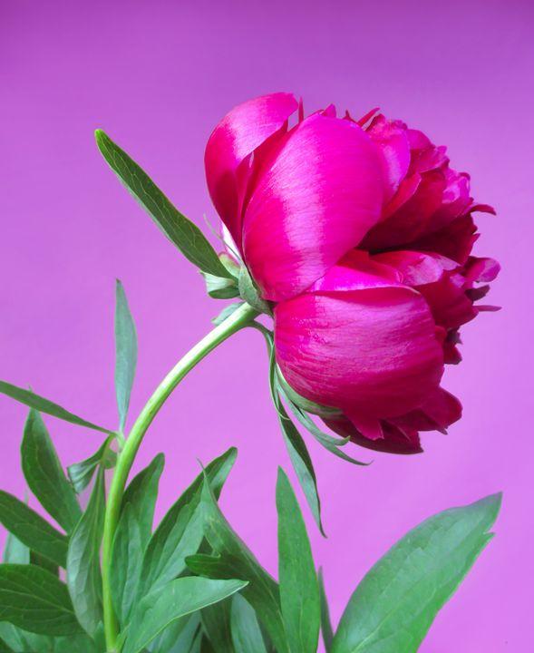 Pink peony - Julia Gogol Art