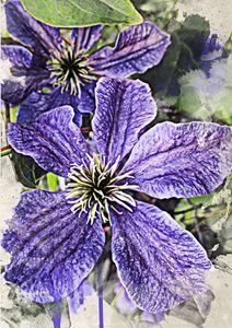 Clematis Blue Flowers - Julia Gogol Art