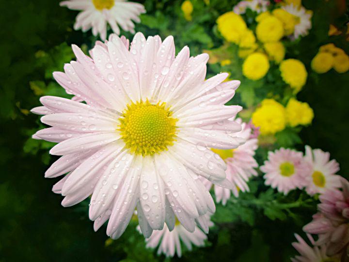 Daisy flower - Julia Gogol Art