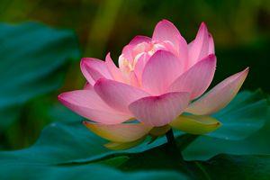 Lotus Reaching for the Sun - Jarrett Art
