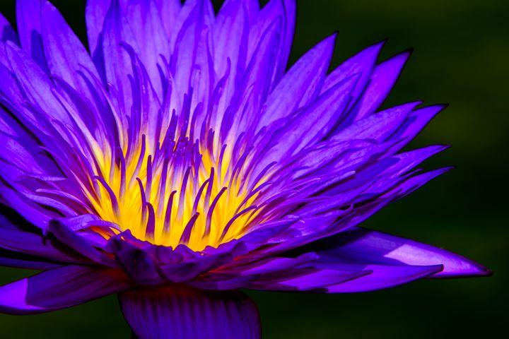 Water Lily Glow - Jarrett Art