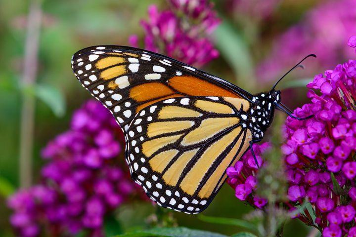 monarch (Danaus plexippus) sipping n - Jarrett Art