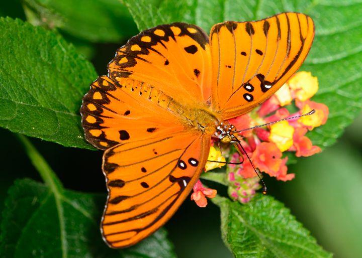 Gulf Fritillary Butterfly - Agrauli - Jarrett Art