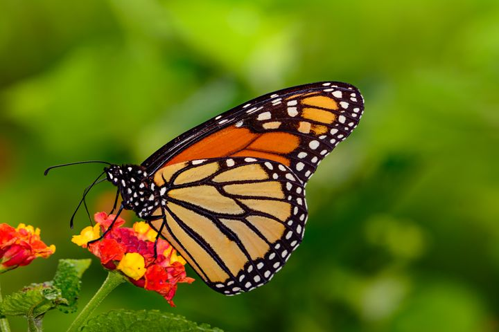 Monarch on the Lantana - Jarrett Art