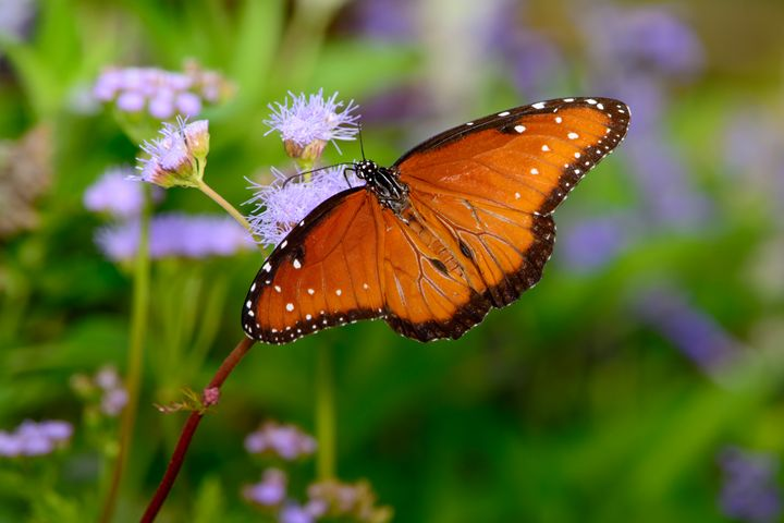 queen butterfly (Danaus gilippus) on - Jarrett Art