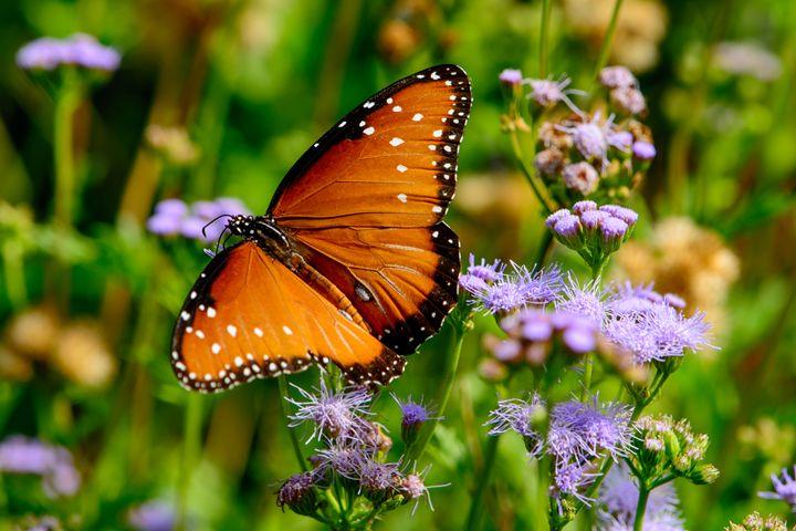 queen butterfly (Danaus gilippus) - Jarrett Art