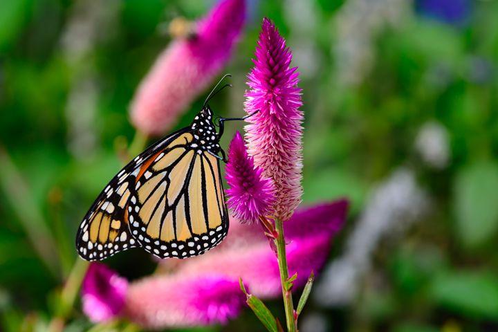 monarch (Danaus plexippus) On bright - Jarrett Art
