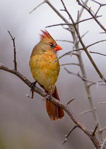 Young Female Cardinal - Jarrett Art